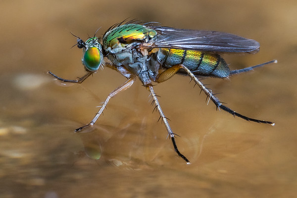 Long Legged Fly(Poecilobothrus nobilitatus)