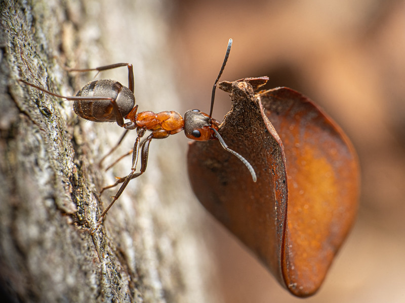 Southern Wood Ant (Formica rufa)