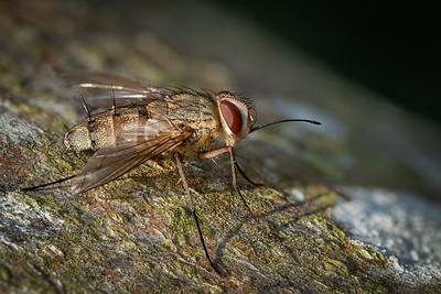 Tachinid Fly (Prosina siberita)