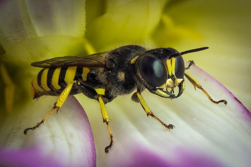Digger Wasp, possibly (Ectemnius cephalotes)