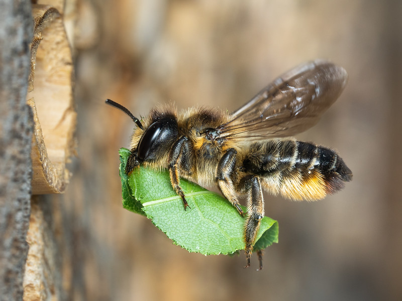 Leaf-cutter Bee, Megachilidae