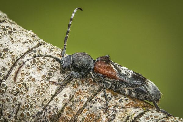 Rufous-shouldered Longhorn Beetle (Anaglyptus mysticus)