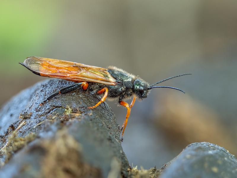 Sawfly Sirex noctilio