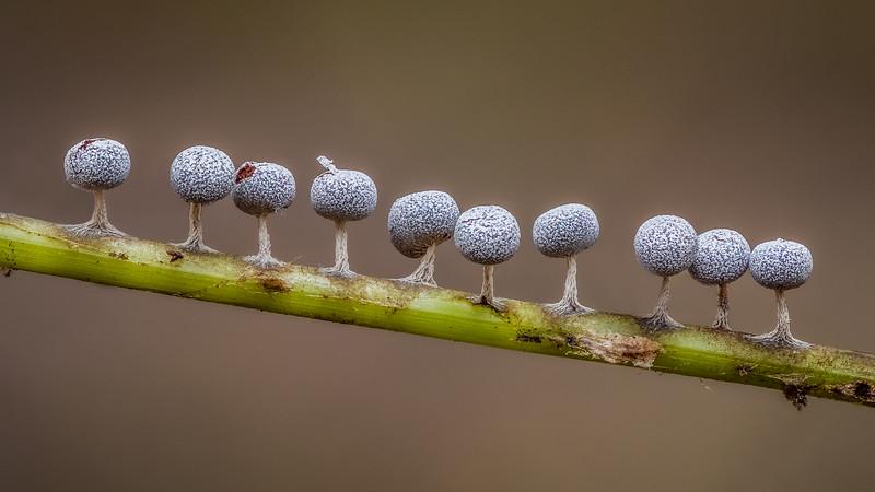 Physarum sp