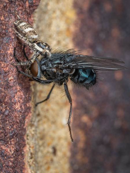 Jumping spider captures Bluebottle