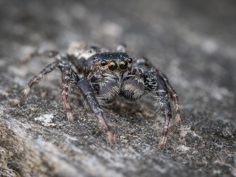 Male Fencepost Jumping Spider (Marpissa muscosa)