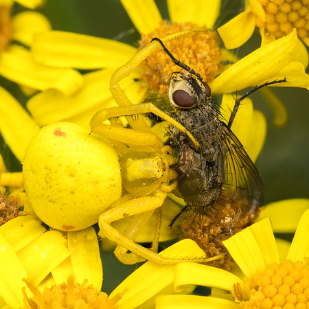 Crab Spider on Ragwort