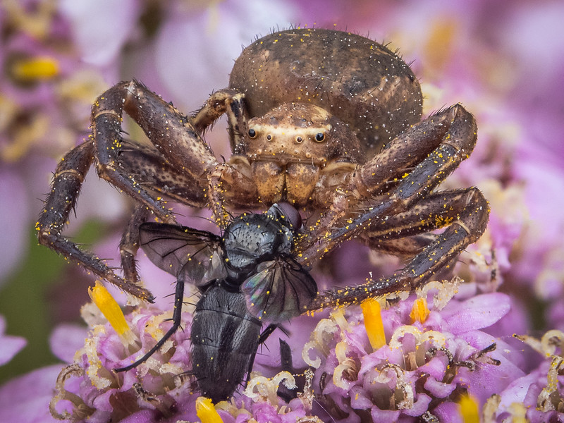 Crab Spider with prey.