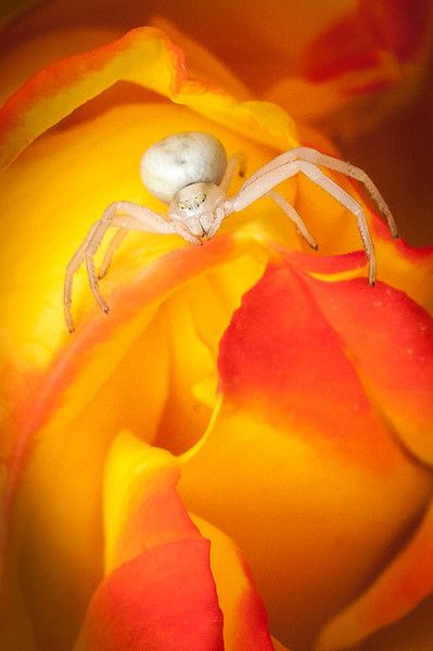 Crab spider on rose