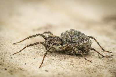 Wolf Spider carrying spiderlings