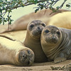 Juvenile Northern Elephant Seals - California
