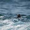 California Sea Otter - California