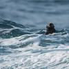 California Sea Otter - California