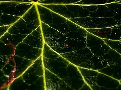 ivy (edera)