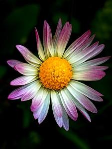 blushing daisy (dedicata a Silvia Romano)