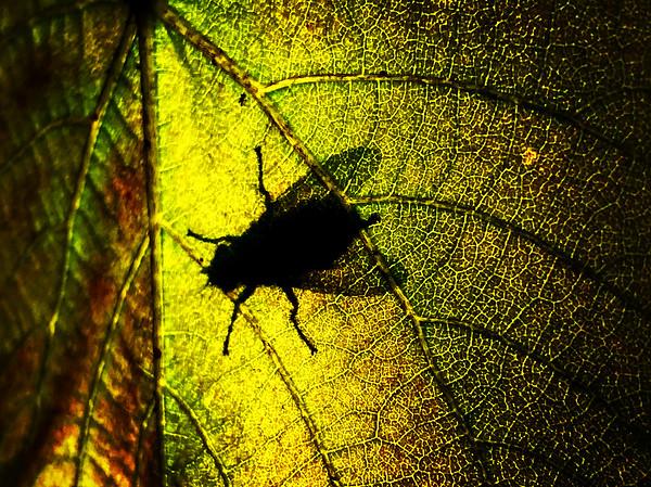 fly shadow
