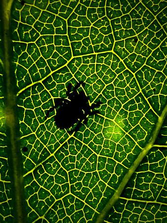 spider shadow