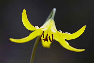 Glacier lily or dogtooth violet (Erythronium grandiflorum), a wildflower, after a rain. Taken in the Gallatin National Forest, Montana, USA.