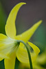 """Show Me Your Backside""<br /> <br /> I always did like the back side of certain wildflowers. ;) This is a glacier lily (Erythronium grandiflorum) taken in Glacier National Park, Montana, USA."