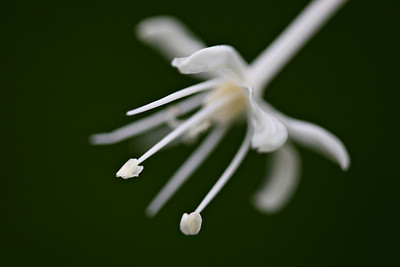 """""""Single Beargrass Blossom""""   Just a super-tiny portion of the overall flower. Taken using extension tubes to get really close to the little flower. Found in Glacier National Park, Montana, USA."""