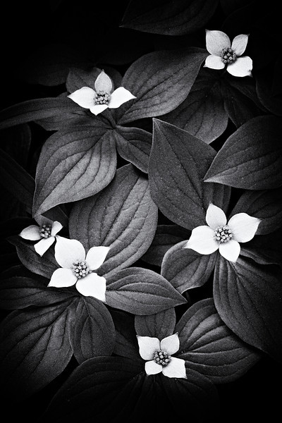 """Flowers and Leaves""<br /> <br /> Bunchberry (Cornus canadensis), a wildflower. It is also known as bunchberry dogwood, dwarf dogwood, Canadian bunchberry, or dogwood bunchberry. Taken in Glacier National Park, Montana, USA."