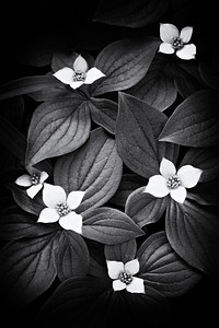 """""""Flowers and Leaves""""  Bunchberry (Cornus canadensis), a wildflower. It is also known as bunchberry dogwood, dwarf dogwood, Canadian bunchberry, or dogwood bunchberry. Taken in Glacier National Park, Montana, USA."""