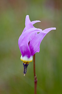 Alpine shooting star (Dodecatheon alpinum), a wildflower. Taken in the Gallatin National Forest, Montana, USA.