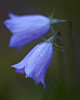 """Dewy Bells""<br /> <br /> <br /> One early morning in the Many Glacier area of Glacier National Park, Montana, USA, we found many of these mountain harebells (Campanula lasiocarpa) still covered in dew."