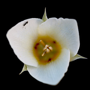 """""""Gunnison's Mariposa Lily With Visitor""""  An ant on a Gunnison's mariposa lily (Calochortus gunnisonii), a wildflower. Taken in Glacier National Park, Montana, USA."""