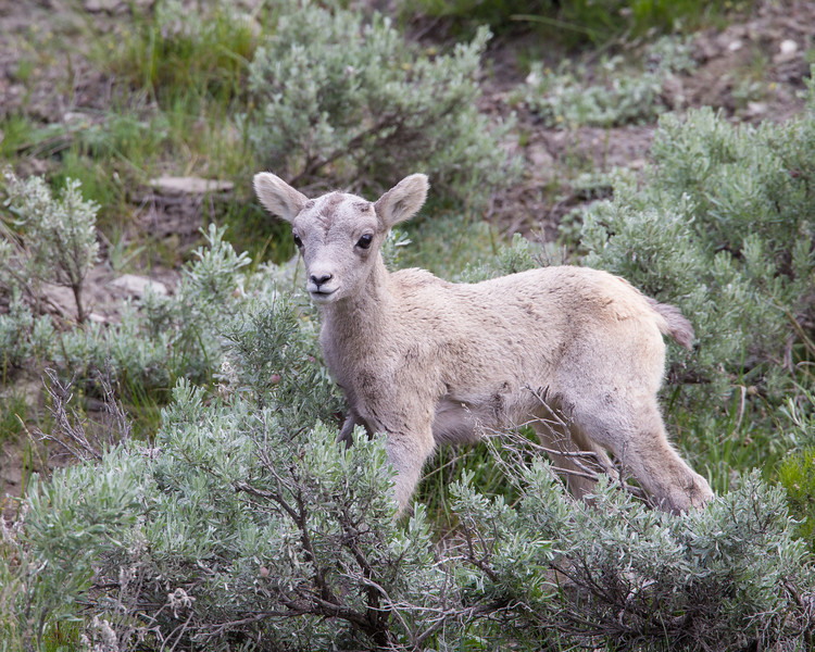 Aaby bighorn sheep (Ovis canadensis), also known as a lamb. Taken in Yellowstone National Park, Montana, USA.