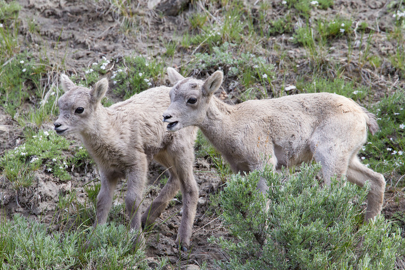 Baby bighorn sheep (Ovis canadensis), also known as lambs. Taken in Yellowstone National Park, Montana, USA.