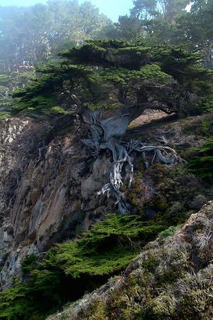 Old Veteran Cypress at Point Lobos