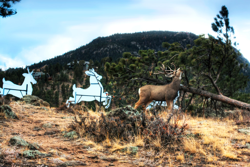 One Buck Christmas Card~    Fun Capture in Estes Park, CO.    Grazing Buck on the back side of an Estes Park Christmas display.    FRONT PAGE FEATURE~Estes Park News 12-28-2012