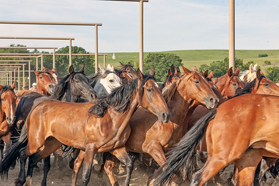 This group of about 20 mares have been separated from a large holding corral and are being directed down the facility alleys toward a waiting trailer for transport to a nearby pasture.