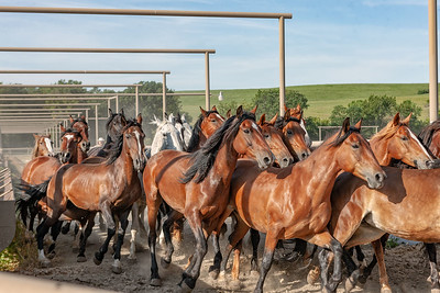 Another group of mares is guided down an alleyway and toward a pasture-bound trailer.