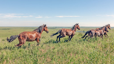 These four geldings are being released on a hilltop in this large pasture.