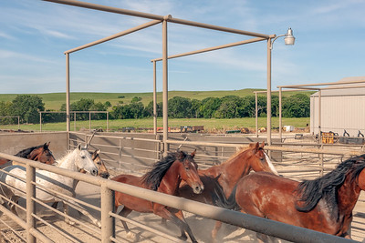 As the many hinged steel gates indicate, the alleys in this facility can be reconfigured at will. As soon as these mares pass, the gate visible on the left can be swung to the left to block their retreat.