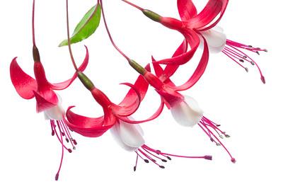 Fuchsia 3