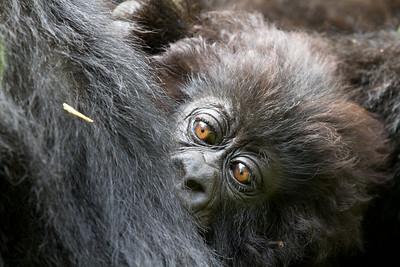 Africa Rwanda Gorillas