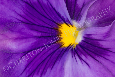 Extreme Closeup of Beautiful Purple Pansy
