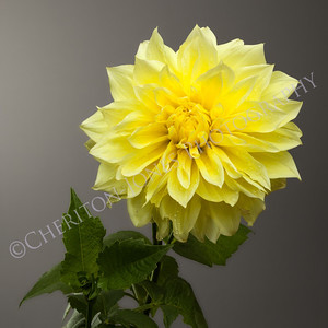 Beautiful Yellow Dahlia on Graduated Grey Background
