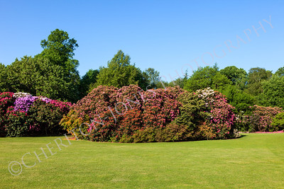 Beautiful Rhododendron and Bushes in Sunny Garden