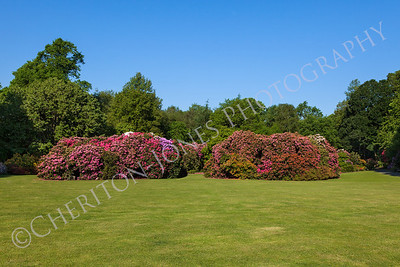 Beautiful Rhododendron Flower Bushes in Sunny Garden