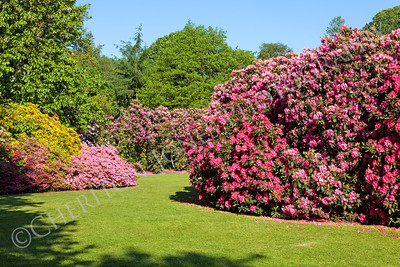 Rhododendron and Azalea Bushes in Beautiful Garden