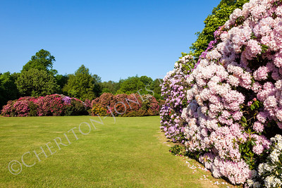 Rhododendron Busines and Trees in Sunny Garden