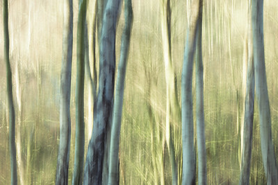 Silver Birch Abstract