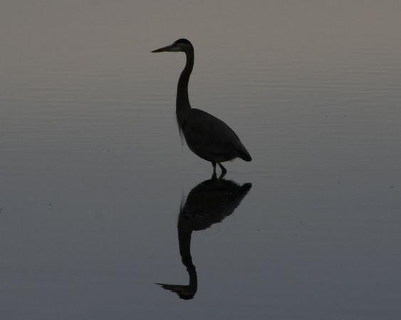 Blue Heron Silhoutte