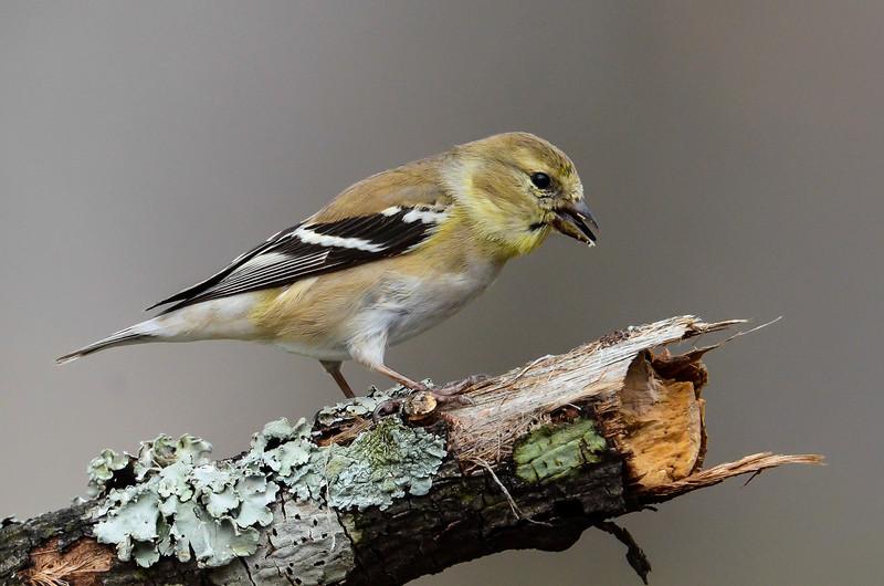 NAb6619  American Goldfinch (Carduelis tristis), male, spring, Atlanta, GA