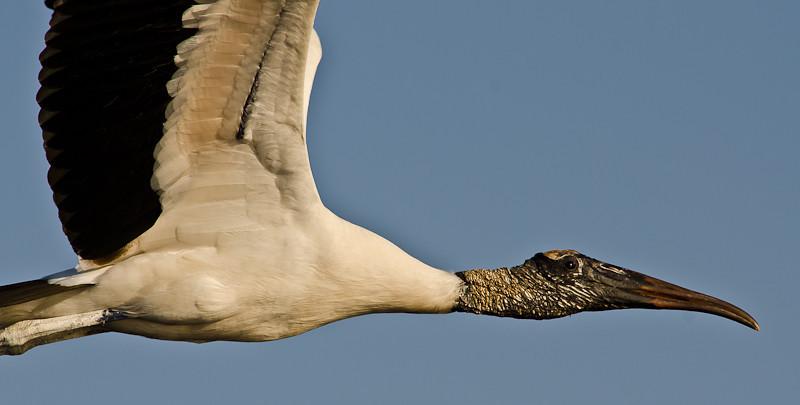 NAb499 - Wood Stork (Mycteria americana)
