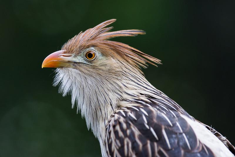 NAb6885 Guira Cuckoo (Guira guira), spring, Zoo Atlanta, Atlanta, GA